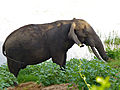 Elephant (Loxodonta africana) big tusker (13782567864).jpg