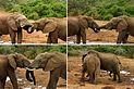 Elephant (Loxodonta africana) mating ritual composite.jpg
