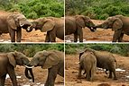 Elephant (Loxodonta africana) mating ritual composite.jpg