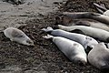 Elephant Seals and pup (31483120552).jpg