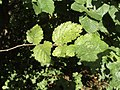 Elm Leaves - geograph.org.uk - 990660.jpg