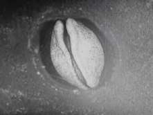 Tập tin:Embryonic development of a salamander, filmed in the 1920s.ogv