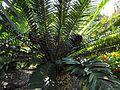Encephalartosmanikensis.jpg