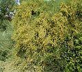 Ephedra fragilis1 ies 2.jpg