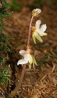 Epipogium aphyllum 010804.jpg