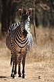 Equus quagga boehmi (portrait).jpg