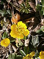 Eranthis hyemalis close-up 01.JPG