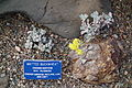 Eriogonum caespitosum - Regional Parks Botanic Garden, Berkeley, CA - DSC04476.JPG