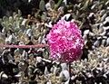 Eriogonumovalifoliumnivale.jpg