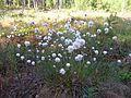EriophorumVaginatum.jpg