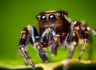 <i>Eris militaris</i> species of arachnid