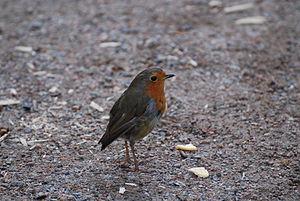 Erithacus rubecula (European Robin) in Edinburgh Botanical Garden.jpg