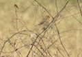 Erithacus rubecula 110387983.png