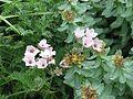 Erodium chrysanthum pink form - Flickr - peganum.jpg