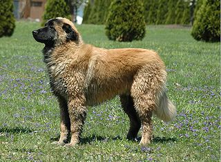 Estrela Mountain Dog Dog breed