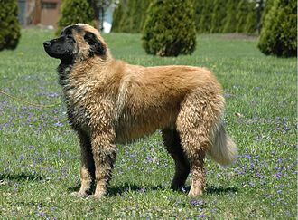 Estrela Mountain Dog - Six-month-old male