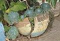 Ethiopian Flowerpot (2093019039).jpg