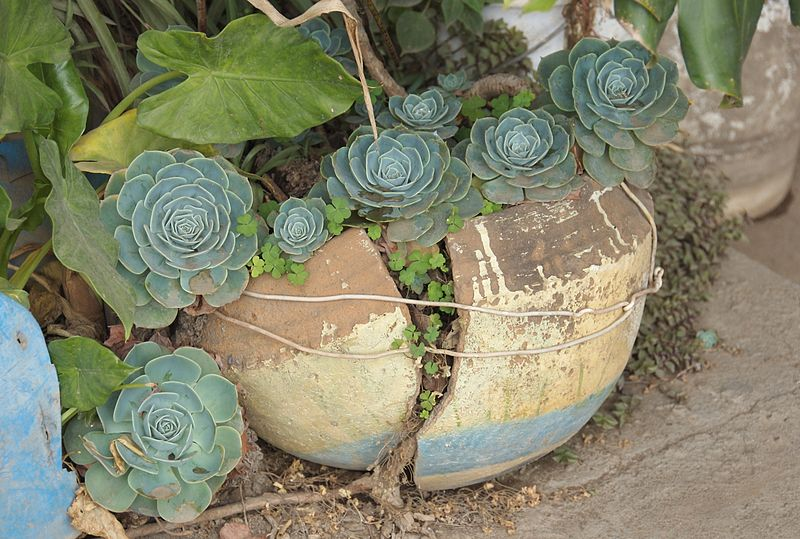 File:Ethiopian Flowerpot (2093019039).jpg