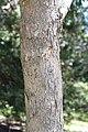 Eucalyptus polyanthemos 01.jpg