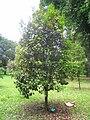 Eugenia brasiliensis - Jardim Botânico de São Paulo - IMG 0397.jpg