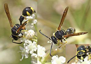 Eumenes (wasp) - Eumenes pomiformis