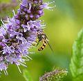 Eupeodes corollae - Flickr - gailhampshire (4).jpg