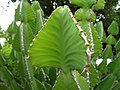 Euphorbia cooperi, Harare.jpg