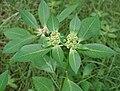 Euphorbia heterophylla (Painted Euphorbia) in Hyderabad, AP W IMG 9720.jpg