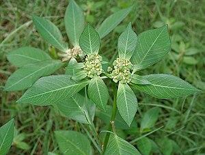Rosids - Euphorbia heterophylla
