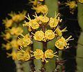 Euphorbia lydenburgensis 03 ies.jpg