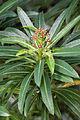 Euphorbia mellifera k6.jpg