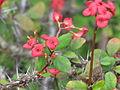 Euphorbia milii var. milii (9266653308).jpg