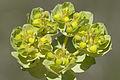Euphorbia sp. - Sütleğen türü 01.jpg