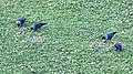 Eurasian Jackdaw (Corvus monedula) - Oslo, Norway 2020-10-18.jpg