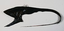 Bobtail snipe eel