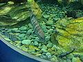 Expo 2012 Hanwha aqua planet Amblycirrhitus pinos.JPG