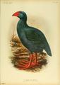 Extinctbirds1907 P32 Apterornis coerulescens0355.png