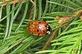 Eyed ladybird (NH266) (14338586507).jpg