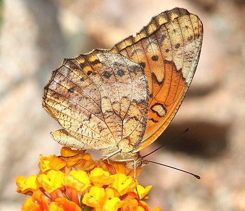 500px fritillary, mexican (euptoieta hegesia) (8 8 12) 78 circulo montana, patagonia lake ranch estates, scc, az  02 (7742640196)