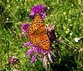 Fabriciana adippe - Andechs, Bäckerbichl (Fauna) HB-10.jpg