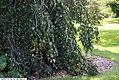 Fagus sylvatica pendula 2zz.jpg