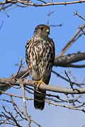 Falco columbarius PP.jpg