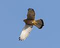 Falco tinnunculus55.jpg