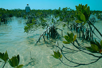 Carbonate platform - An example of carbonate mud sedimentation in the internal part of the Florida Bay lagoon. The presence of young mangroves is important to entrap the carbonate mud.