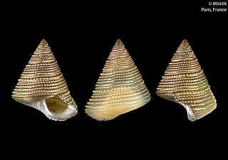 <i>Fautor boucheti</i> Species of gastropod