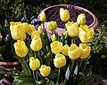 Feeringbury Manor yellow tulip cultivar, Feering Essex England 2.jpg