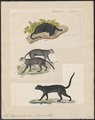Felis yaguarundi - 1834 - Print - Iconographia Zoologica - Special Collections University of Amsterdam - UBA01 IZ22100340.tif