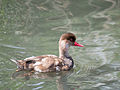 Female red crested pochard (14355505936).jpg