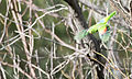 Female red shouldered parrot 2 (17143356587).jpg