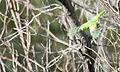 Female red shouldered parrot 2 (17143356587).jpg